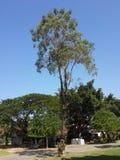 Högväxt träd i blå himmel Fotografering för Bildbyråer
