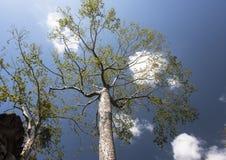 Högväxt träd med blå himmel och moln Arkivbild