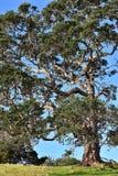 Högväxt träd med lockiga filialer Arkivfoton