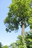 Högväxt träd på en molnfri blå himmel Royaltyfria Bilder