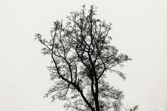 Högväxt träd utan sidor som isoleras på vit monokrom bakgrund arkivbilder