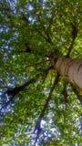 högväxt tree Arkivbilder