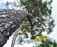 högväxt tree Royaltyfria Bilder