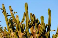 Högväxt treelike vana för stora kakturs på bakgrunden för blå himmel arkivfoto