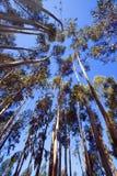högväxt trees Arkivbild