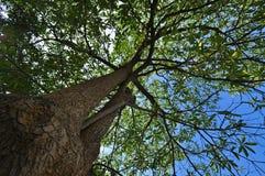 Högväxt trees. Arkivfoton
