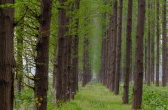 högväxt trees Fotografering för Bildbyråer