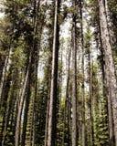 högväxt trees Arkivfoto