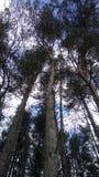 högväxt trees Arkivbilder