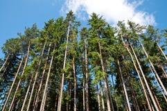 högväxt trees för skog arkivbild