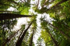 Högväxt Trees i skogen Arkivfoto