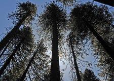 Silhouette av högväxt trees Fotografering för Bildbyråer