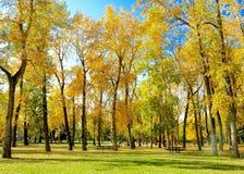 Högväxta Autumn Trees med guld- och gula sidor i parkerar royaltyfri foto