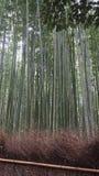 Högväxta bambuträd arkivbilder