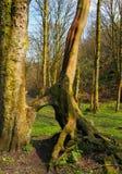 Högväxta bokträdträd med sammanfogat synligt vridet rotar i en gräs täckt skogröjning i ljust tidigt vårsolljus arkivbild