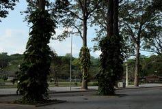 H?gv?xta fikustr?d i ett av den Siem Reap staden parkerar g?rar gr?n tropiskt arkivfoton