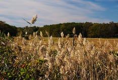 Högväxta fjäderlika gräs arkivbild