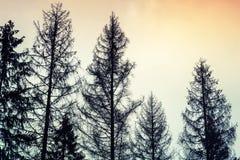Högväxta gamla prydliga träd, svarta konturer över molnig himmel Arkivfoton