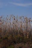 Högväxta gräs- vasser som växer i Spanien Arkivbild