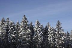 Högväxta granar i en skog som täckas med snö fotografering för bildbyråer