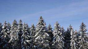 Högväxta granar i en skog som täckas med snö royaltyfri bild