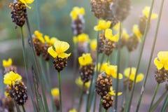Högväxta Guling-synade gräsflowerXyris indica L Royaltyfri Fotografi