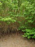 Högväxta mangroveträd på på kust- våtmarker, Chanthaburi, Thailand royaltyfri fotografi