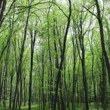 Högväxta och magra träd Fotografering för Bildbyråer
