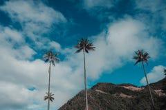 Högväxta palmträd i vallen de cocora fotografering för bildbyråer