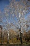 Högväxta popplar i skogen med inga sidor Fotografering för Bildbyråer
