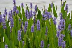 Högväxta purpurfärgade waterflowers Royaltyfria Foton