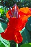 Högväxta röda tropiska blommor Arkivbild