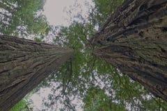 Högväxta redwoodträd Royaltyfria Bilder