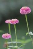 Högväxta rosa Zinnias Royaltyfri Fotografi