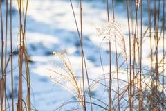 Högväxta stammar av torrt gräs i vinter Arkivbilder