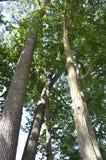 Högväxta träd Arkivbild