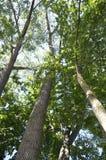 Högväxta träd Arkivfoto