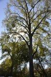 Högväxta träd Royaltyfria Bilder
