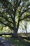 Högväxta träd Royaltyfri Bild