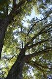 Högväxta träd Fotografering för Bildbyråer
