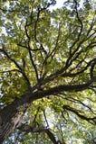 Högväxta träd Arkivfoton