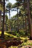 Högväxta träd Royaltyfri Foto