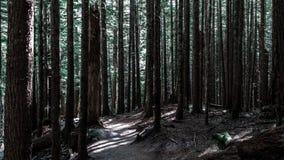 Högväxta träd i mörk skog royaltyfri foto
