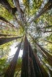 Högväxta träd i stora Sur Fotografering för Bildbyråer