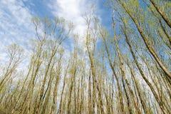 Högväxta träd med unga nya sidor på en härlig dag under spr Arkivfoton