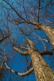Högväxta träd som stiger in mot den blåa himlen Royaltyfri Fotografi