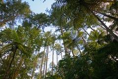Högväxta treetops nära Rotorua, Nya Zeeland Royaltyfri Foto