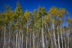 Högväxta vita björkar med färgrika sidor & blå himmel, Yukon arkivbilder