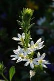 Högväxta vita blommor Arkivbilder