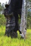 Höhle gebrannter Baum-Stamm vom Waldbrand Stockfotos